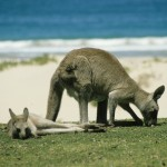 kangaroo-246777_1280
